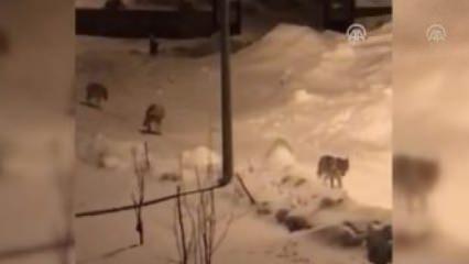 Aç kalan kurt sürüsü ilçe merkezine indi