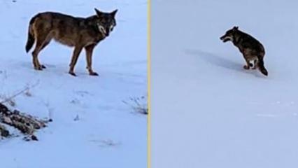 Mahalleye inen kurt böyle görüntülendi