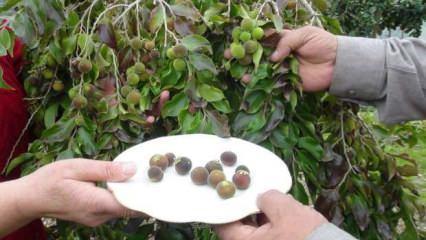 Emekli çift ketembilla yetiştiriyor: Türkiye'de ilk hasat