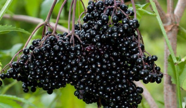 Aronya meyvesi nedir ve faydaları nelerdir