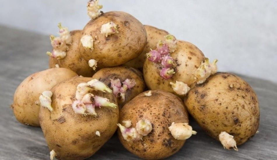 Kartoffel Keimen Essen