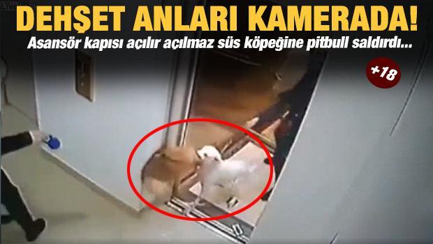 Dehşet anları kamerada! Süs köpeğine Pitbull saldırdı...